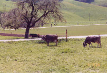 Cows by Dieboldswil Bridge. Photo by Lisette Keating May, 2005